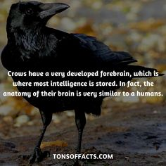 Crows have a very developed forebrain, which is where most intelligence is stored. In fact, the anatomy of their brain is very similar to a humans. Crow Facts, Bird Facts, Raven Facts, Fun Facts About Animals, Animal Facts, Animals And Pets, Funny Animals, Cute Animals, Raven Bird