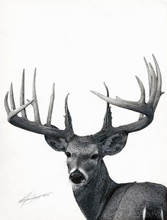 Trophy Buck - Graphite Pencil Drawing by Julio Lucas on Behance