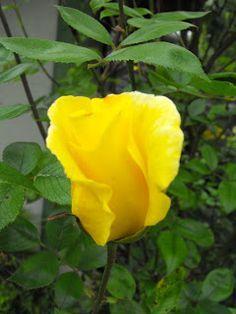 Metszés: Rózsák nyári metszése Planting Flowers, Gardening, December, Roses, Plant, Pink, Lawn And Garden, Rose, Horticulture