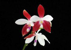 Phalaenopsis tetraspsis