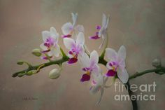 Orchids In Pink And White by Sally Simon #orchids