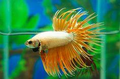 Platinum orange crowntail