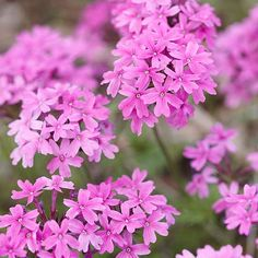 Rose Verbena (annual/short-lived perennial): low maintenance, attracts butterflies