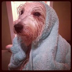 """@prestonspeaks's photo: """"It is me Elvis: hey #barkworld expo my mom said I HAD to get a bath to come to Barkworld. I think she was stretching the truth some! What do u think?""""    www.PrestonSpeaks.com"""