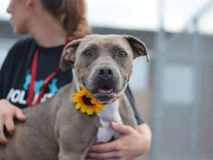 SAFE❤️❤️ 10/5/16 BY READY FOR RESCUE❤️ THANK YOU❤️❤️ TINA - A0996740 - - Brooklyn Please Share:TO BE DESTROYED 09/26/16: **ON PUBLIC LIST** Two year old Tina is sitting in a cage at Brooklyn ACC wondering what it would be like to be a valued dog with humans who see her as more than a backyard fixture. It seems that Tina's people adopted her from ACC when she was a tiny 5 month old and though she no doubt was so excited about finding a home, she had no idea why her people were simply content…