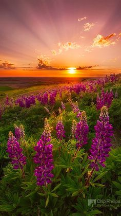 Raios do crepusculo e flores silvestres da primavera no condado de Palouse,   Washington, USA.  Fotografia: Chip Phillips.