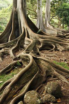 Giant fig tree roots in Kauai Weird Trees, Giant Tree, Old Trees, Unique Trees, Tree Roots, Nature Tree, Art Nature, Fig Tree, Science And Nature