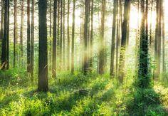 Kom tot rust met dit bos als uitzicht in uw eigen huis. Dit foto realistisch behang zal in 8 banen (elk 91,50 x 127 cm) worden geleverd. Dit brengt tot een totale grootte van 366 x 254 cm. Een aantal eigenschappen van het behang: