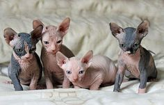 hairless-kittens-just-adorable