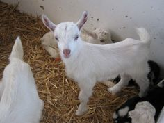 Goat Kidding 101: A Step-By-Step Guide To Labor And Delivery
