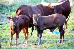 Ankole-Watusi Cows with Calves | Ankole Watusi Cattle + Join Group