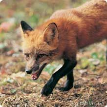 Red foxes have adapted well to suburban and rural communities. While other large predators have been pushed away from human development, red foxes took advantage of the changed habitat. They live in parks and woodland edges and red foxes will readily eat whatever is available. Red foxes are solitary, so it is easy for them to hide and escape people