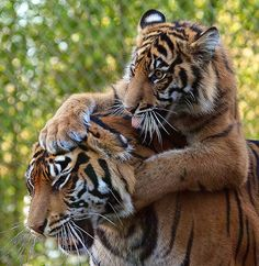 moeder tijger en welpie zooooooooo cutie