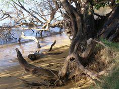 Molokai Girl: Mesquite Trees in Hawaii: Kiawe