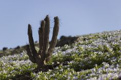 desierto florido en Antofagasta - Chile