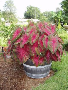 Caladiums in a whisky barrel ... great for a shady spot where many other plants won't grow or won't give great color.