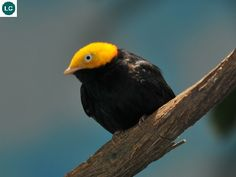 https://www.facebook.com/WonderBirdSpecies/ Golden-headed manakin (Ceratopipra erythrocephala); Central and South America; IUCN Red List of Threatened Species 3.1 : Least Concern (LC)(Loài ít quan tâm) || Manakin đầu vàng; Trung và Nam Mỹ; HỌ MANAKIN - PIPRIDAE (Manakins).