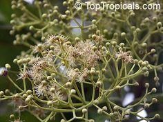 Pimenta dioica, Allspice, Jamaica Pepper, Pimento Tree, Alspice