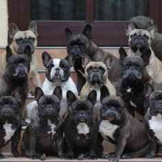 LOTS of Frenchies:)))) who couldn't love these faces??? = )