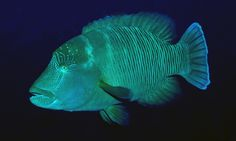 A humphead wrasse swims in the waters near Atauro Island. Photograph: Gerry Allen/Conservation International
