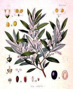 Olea europeae (Acebuche, zambujo, azuchera)