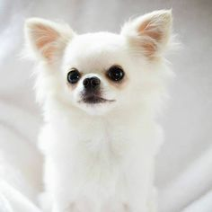 Effective Potty Training Chihuahua Consistency Is Key Ideas. Brilliant Potty Training Chihuahua Consistency Is Key Ideas. Teacup Chihuahua, Merle Chihuahua, Chihuahua Love, Chihuahua Puppies, Cute Puppies, Cute Dogs, Dogs And Puppies, Long Hair Chihuahua, Doggies