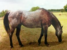 Royal Blue Boon, an AMAZING blue roan Quarter Horse mare and dam of Peptoboonsmal and many others. She was the first QH to be cloned. NCHA earnings $224,685.37 Equi-Stat #1 All-Time Leading Cutting Producer (1995-2004). Her foals have earned over $2,628,000; her foals, grandfoals and great-grandfoals have earned over $ 9,000,000. Died Oct 2011 at age 31. https://fbcdn-sphotos-b-a.akamaihd.net/hphotos-ak-prn1/420547_145933702190763_953039356_n.jpg