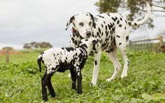 This black and white spotted lamb seems to think he is a Dalmatian dog. The lamb was born at a dog breeder's farm in South Australia's Barossa Valley. After being rejected by his mother he was quickly adopted by dog Zoe and the pair are now inseparable. The dotty lamb follows her around the farm and even sleeps inside the dog kennel. Picture: Media Mode Pty Ltd / Rex Features
