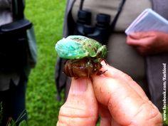 Cicada shedding its exoskeleton