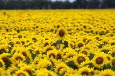 Spectacular sunflowers in Allen, Texas