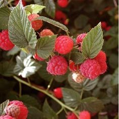 Seeds and Things Organic Red Raspberry 50 Seeds Raspberry Bush, Red Raspberry Leaf, Raspberry Seeds, Raised Bed Garden Design, Fruit Seeds, Thing 1, Organic Plants, Planting Bulbs, Fruit Garden