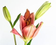 Pink Lily Bud with Chartreuse and Misty by SarahHollander on Etsy
