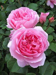 Maid Marion:  English Shrub Rose