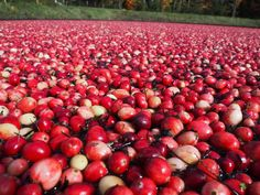 What started as a way for Carrie Thomas to extend her time in Muskoka through the fall 20 years ago, turned into a lasting love of both cranberries, farming, and the family that makes cranberries happen in Ontario. She shares an insider's view on cranberries and what you can do at a cranberry farm.