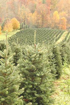 my dream....to own a christmas tree farm...