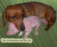 Image detail for -Watch this video it is a Dachshund with her piglet