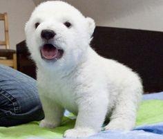 I feel like there aren't many polar bears here, so welcome Siku!