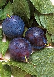 BLUEBYRD===Description Released by USDA in 1998, Bluebyrd is an excellent European type plum for the commercial orchard and home garden use. The fruit is blue with amber flesh, medium to large in size with excellent flavor and high sugar content. The tree is vigorous and productive, showing great resistance to black knot. Bluebyrd blooms before Stanley and requires cross pollination. Characteristics...   *Maturity Date: August 27