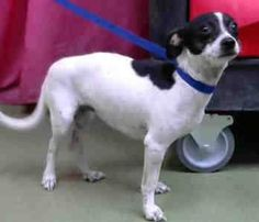Chihuahua dog for Adoption in Seattle, WA. ADN-699461 on PuppyFinder.com Gender: Female. Age: Young