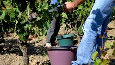 Memories of Wine Harvesting - Cutting, filling, carrying and repeating the same movement since the depths of time, everyone is on deck , the cellar is waiting to transform the precious fruit and extract its best, everything has to be done quickly, day after day and don't cut yourself !