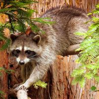 17 Curious Pictures of Raccoons