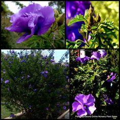 10 West Coast Gem Australian Native Plants Hibiscus Alyogyne huegelii Shrub Tree Frost tolerant but not that appealing