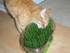 Cats want 'living food' so supply kitty with CAT GRASS (WHEAT GRASS). It provides them with essential vitamins for skin and coat health; strengthens immune system; aids in their digestion by adding roughage and preventing constipation; assists in evacuation of hairballs instead of them vomiting; and satisfies their cravings for grass. Yard grass is not digestible like wheat grass and may be toxic due to pesticides and fertilizer. Buy kits and grow it yourself. Starts to sprout in three days!