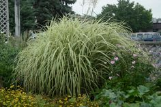 'Dixieland' Maiden Grass (Miscanthus sinensis 'Dixieland') Green and white variegated leaves form a 4- to 5-foot fountain in this ornamental grass. The variegated pattern in leaves is such that, from a distance, the grass appears mostly white. It sparkles when planted against dark evergreens. Pink flower plumes appear in late summer and linger into winter. Hardy in Zones 5 to 9.