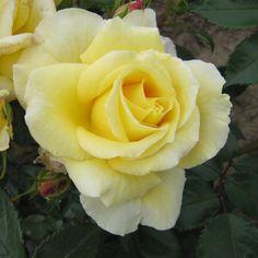 Wonderful Husband garden rose is a fragrant floribunda rose supplied by The Fragrant Rose Company Yellow Cream, Yellow Flowers, Floribunda Roses, Rose Foto, Ronsard Rose, Fragrant Roses, Types Of Roses, One Rose, Rose Bush