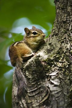 Chipmunk On A Limb Print by Christina Rollo. All prints are professionally printed, packaged, and shipped within 3 - 4 business days. Choose from multiple sizes and hundreds of frame and mat options. Hamsters, Rodents, Cute Squirrel, Squirrels, Woodland Forest, Forest Friends, Walk In The Woods, Mundo Animal, All Gods Creatures