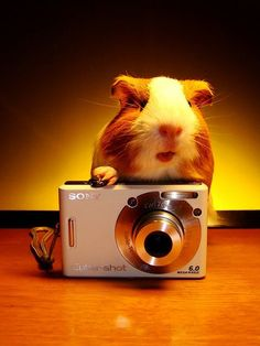 cute guinea pig taking a picture with a camera