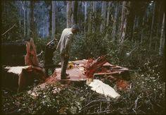 147946PD: Botanist John Beard standing on a felled Karri tree, Western Australia, 1965-1984.  http://encore.slwa.wa.gov.au/iii/encore/record/C__Rb4173080__Sbotanists%20western%20australia__Ff%3Afacetmediatype%3Av%3Av%3APhotograph%3A%3A__P0%2C9__Orightresult__U__X3?lang=eng&suite=def