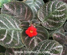 Episcia country kitten Nerve Plant, Begonia, Kitten, African, Country, Wall Trellis, Vegetable Gardening, Plants, Violets