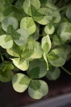 Clover Field, Vascular Plant, Clover Green, Blossom Trees, Green Plants, Indoor Plants, House Plants, Beautiful Flowers, Diy And Crafts